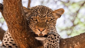 Man-Eaters Safari 3-Days Tsavo East Tsavo West