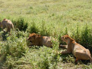 Tanzania safaris 2021-2022