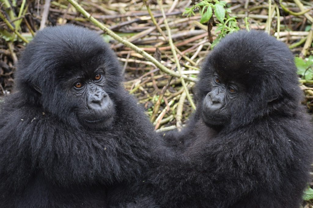 Gorila Safari 7-Days Gorilla Tracking Safari